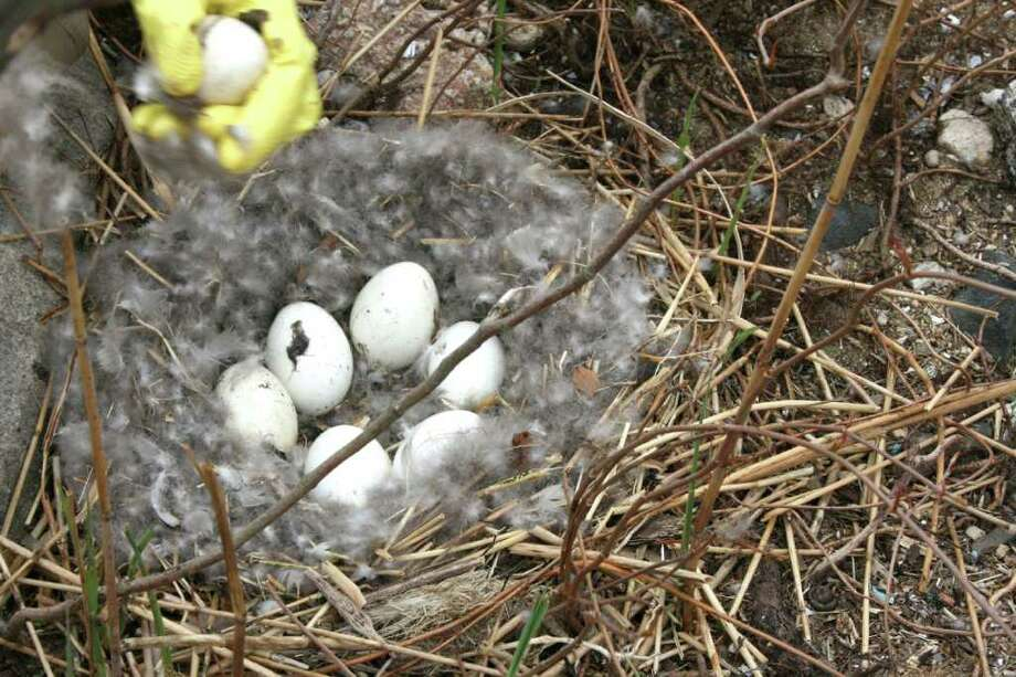 The Town of Greenwich Conservation Commission is offering a training program to teach volunteers how to oil Canada Geese eggs, such as these as part of a conservation effort. Photo: Contributed Photo