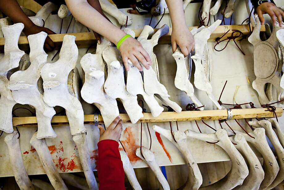 Fifth graders place spine bones of a grey whale into place that Dan Sudran brought into John Muir Elementary School so that students could learn about the animal by reassembling its skeleton in San Francisco, Calif., March 12, 2012. Sudran salvaged the skeleton when it washed ashore last year on Pescadero Beach and has begun showing it off for educational purposes, reassembling it using fiber optic cable as string.   Jason Henry/Special to The Chronicle Photo: Jason Henry, Special To The Chronicle