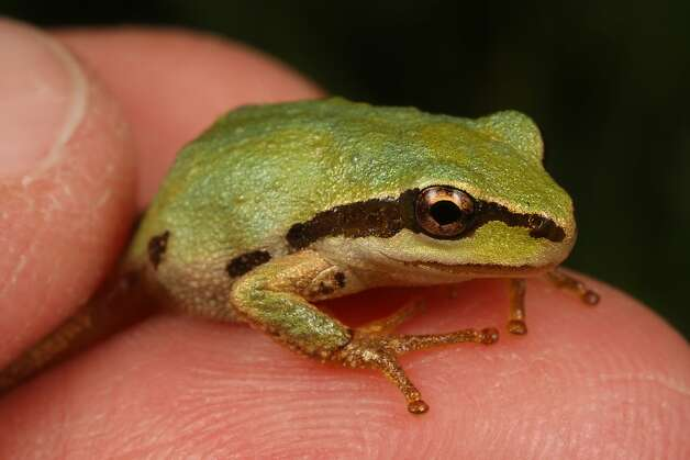 "Known for its distinctive ""ribbit"" call, this noisy frog is a potent carrier of a deadly amphibian disease, according to new research published March 12, 2012 in the journal PLoS One. The research was led by Vance Vredenburg, assistant professor of biology at San Francisco State University.  The photo was taken in Everson, Washington. Photo: Courtesy Joyce Gross"