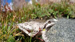 "A Pacific chorus frog in Sixty Lakes Basin in California's Sierra Nevada Mountains. Known for its distinctive ""ribbit"" call, this noisy frog is a potent carrier of a deadly amphibian disease, according to new research published March 12, 2012 in the journal PLoS One. The research was led by Vance Vredenburg, assistant professor of biology at San Francisco State University."