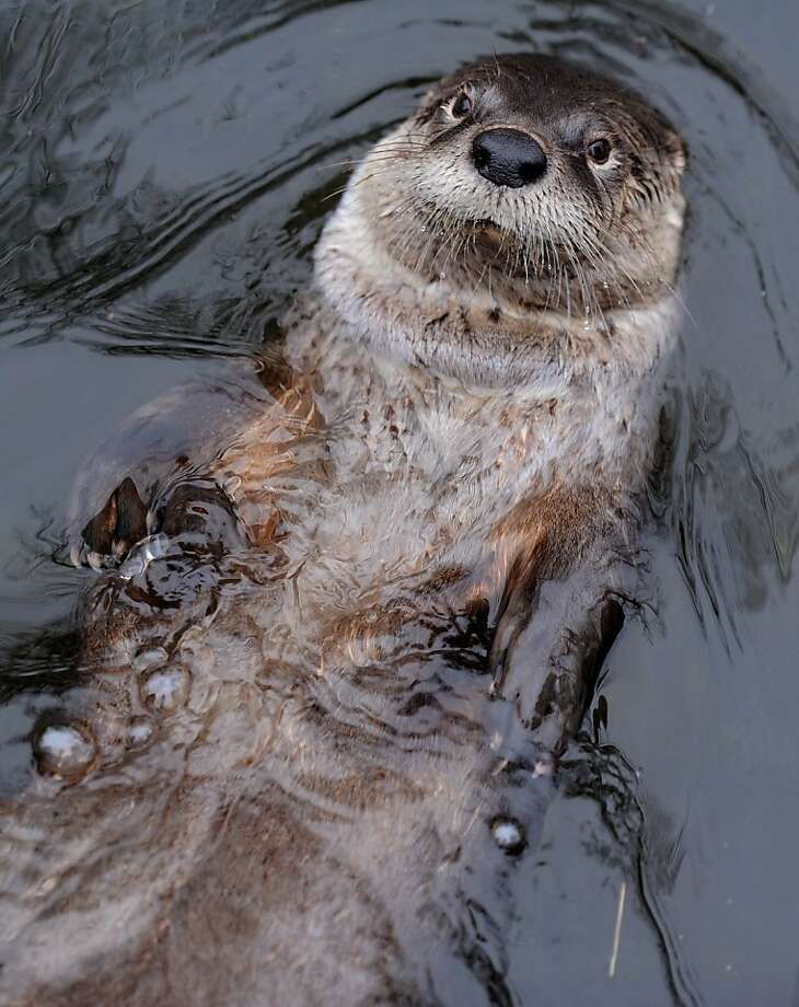 """TOPSHOTS - A beaver swims in a pool inside his enclosure at the """"ZOOM"""" Zoo in Gelsenkirchen, western Germany on March 12, 2012.     TOPSHOTS / AFP PHOTO / PATRIK STOLLARZ (Photo credit should read PATRIK STOLLARZ/AFP/Getty Images) Photo: Patrik Stollarz, AFP/Getty Images"""
