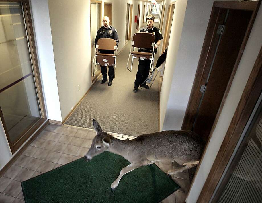 A whitetail deer is makes its out of an office building in Madison, Wisconsin after crashing through a window of a vacant studio Monday, March 12, 2012. The animal was escorted out of the building by officers with the Madison Police Department, the Dane County Sheriff's Department and the Department of Public Health of Madison and Dane County. Once out of the building, the deer quickly escaped to a nearby wooded area. During the ordeal, access was restricted to the building which also houses a dental office, located across the hallway from the incident. (AP Photo/Wisconsin State Journal, John Hart) Photo: John Hart, Associated Press