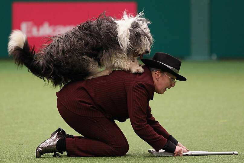 BIRMINGHAM, ENGLAND - MARCH 10:  A dog and its owner perform a routine in the main arena on Day thre