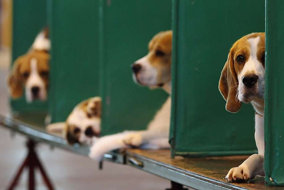 BIRMINGHAM, ENGLAND - MARCH 11:  Beagles sit in their kennels on the fourth and final day of Crufts at the Birmingham NEC Arena on March 11, 2012 in Birmingham, England. During the annual four-day competition nearly 22,000 dogs and their owners will compete for a variety of accolades, ultimately seeking the coveted title of 'Best In Show'.  (Photo by Dan Kitwood/Getty Images) Photo: Dan Kitwood, Getty Images
