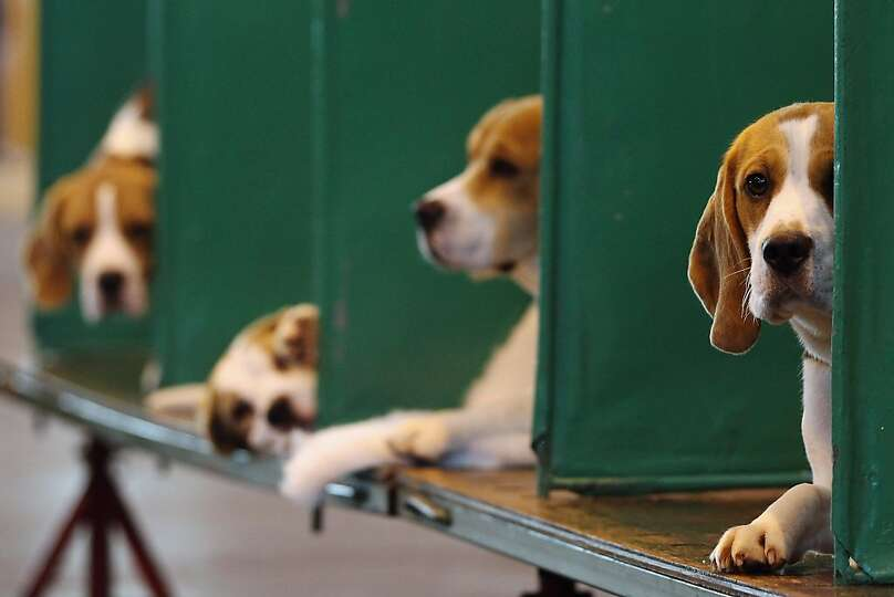 BIRMINGHAM, ENGLAND - MARCH 11:  Beagles sit in their kennels on the fourth and final day of Crufts