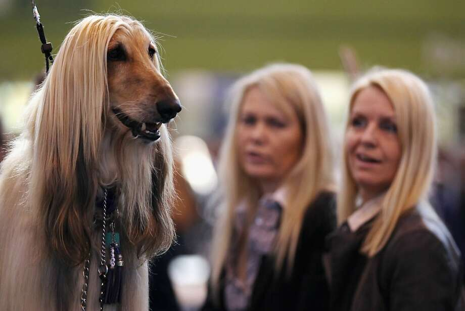 BIRMINGHAM, ENGLAND - MARCH 11:  An Afghan Hound stands on a grooming table during the fourth and final day of Crufts at the Birmingham NEC Arena on March 11, 2012 in Birmingham, England. During the annual four-day competition nearly 22,000 dogs and their owners will compete for a variety of accolades, ultimately seeking the coveted title of 'Best In Show'.  (Photo by Dan Kitwood/Getty Images) Photo: Dan Kitwood, Getty Images