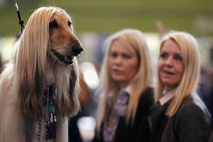 BIRMINGHAM, ENGLAND - MARCH 11:  An Afghan Hound stands on a grooming table during the fourth and fi