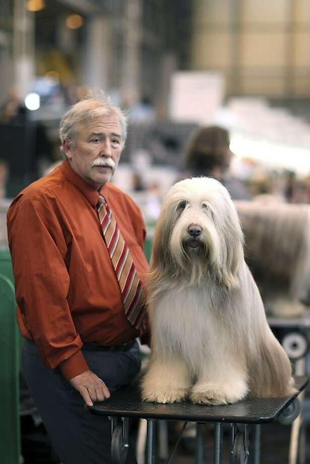 An Old English Sheepdog sits on a grooming table next to it's owner on day three of Crufts at the Birmingham NEC Arena on March 10, 2012 in Birmingham, England. During the annual four-day competition nearly 22,000 dogs and their owners will compete for a variety of accolades, ultimately seeking the coveted title of 'Best In Show'. Photo: Dan Kitwood, Getty Images