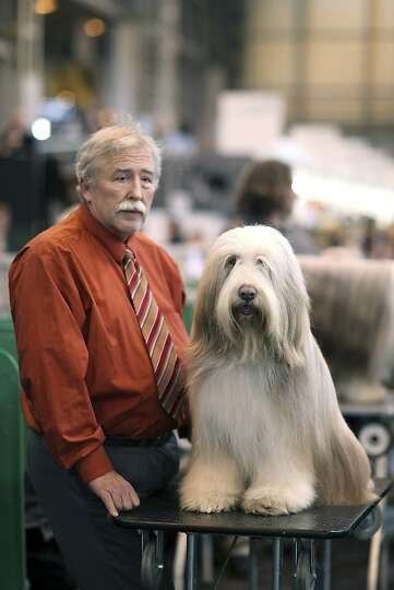 An Old English Sheepdog sits on a grooming table next to it's owner on day three of Crufts at the Bi