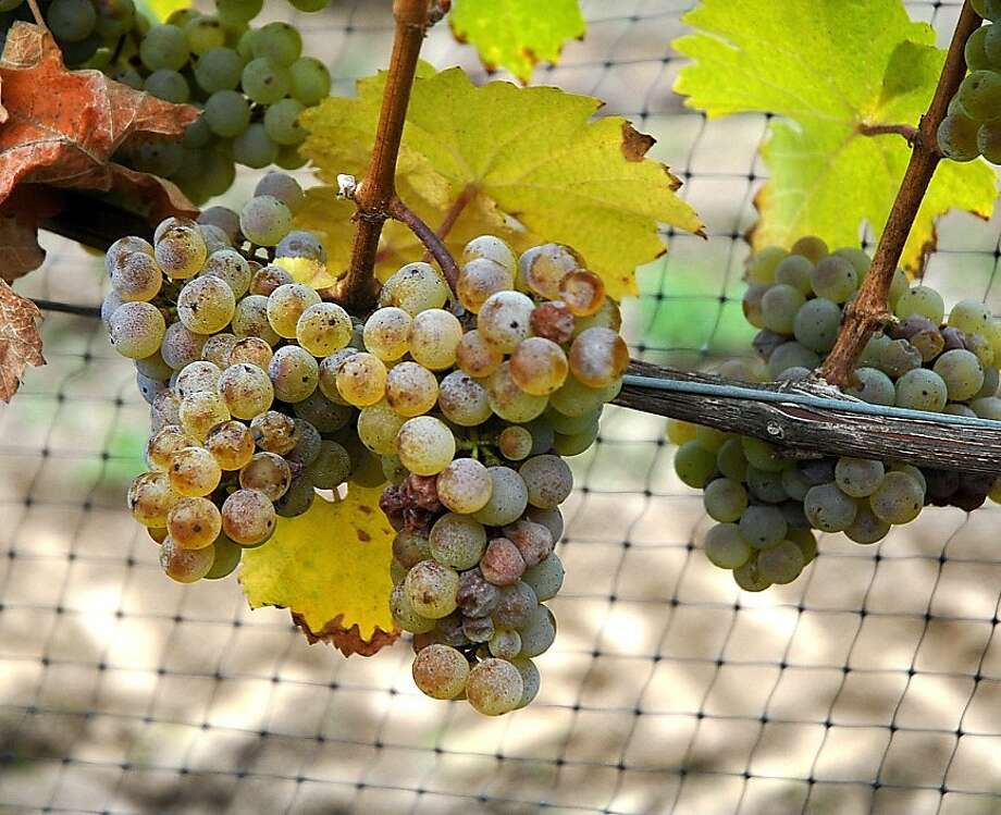 Oregon Riesling grapes Photo: Courtesy Oregon Wine