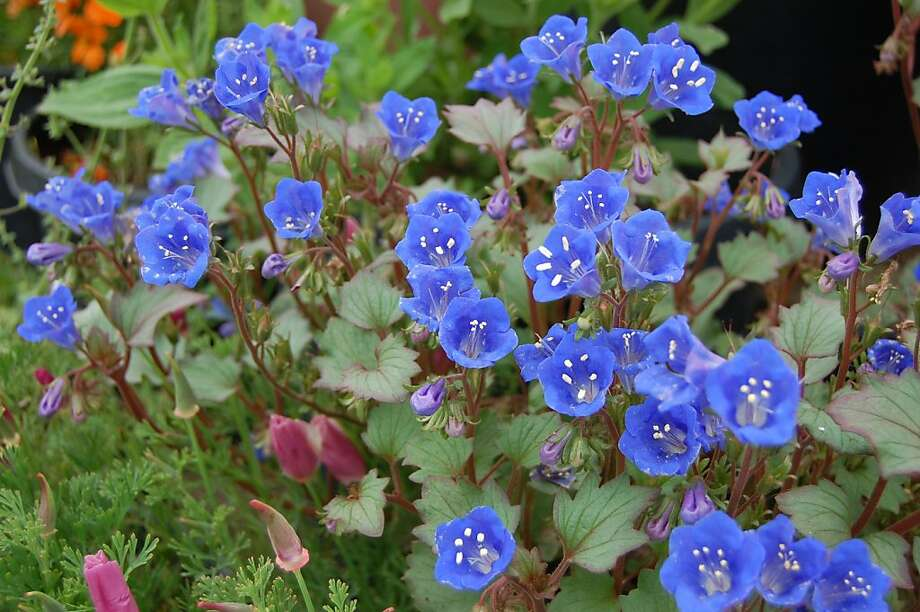 Phacelia campanularia, commonly known as California bluebells Photo: Far Out Flora