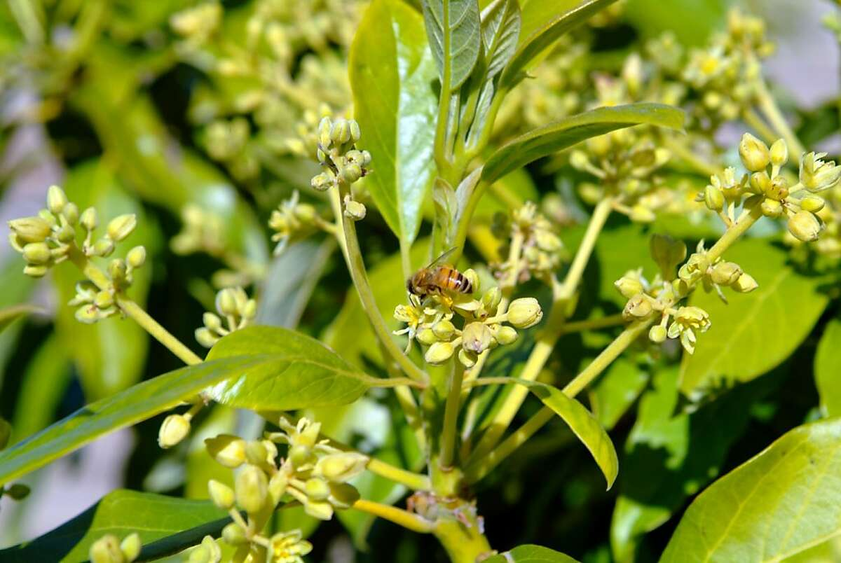 When bees are active, avocado pollination is more likely, but even so, cold weather can cause trees to drop immature fruits.