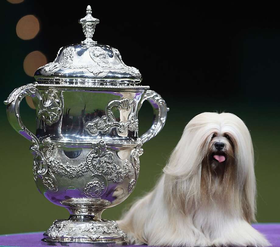 BIRMINGHAM, ENGLAND - MARCH 11:  Elizabeth, a Lhasa Apso sits next to the trophy after winning 'Best in Show' at the 2012 Crufts dog show at the National Exhibition Centre on March 11, 2012 in Birmingham, England. During the annual four-day competition nearly 22,000 dogs and their owners will compete for a variety of accolades, ultimately seeking the coveted title of 'Best In Show'.  (Photo by Dan Kitwood/Getty Images) Photo: Dan Kitwood, Getty Images