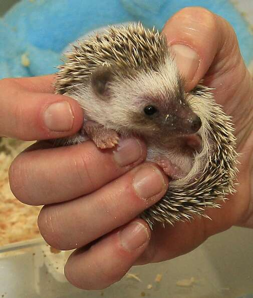 Cincinnati Zoo nursery keeper Dawn Strasser holds a one-month-old hedgehog, Thursday, March 8, 2012,