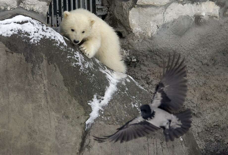 One of three polar bear cubs born in November last year, tries to hunt at the Moscow Zoo, in Moscow, Tuesday, March 13, 2012. The cubs have only recently been revealed to the public as they have mostly stayed in the seclusion of their den. (AP Photo/Alexander Zemlianichenko) Photo: Alexander Zemlianichenko, Associated Press