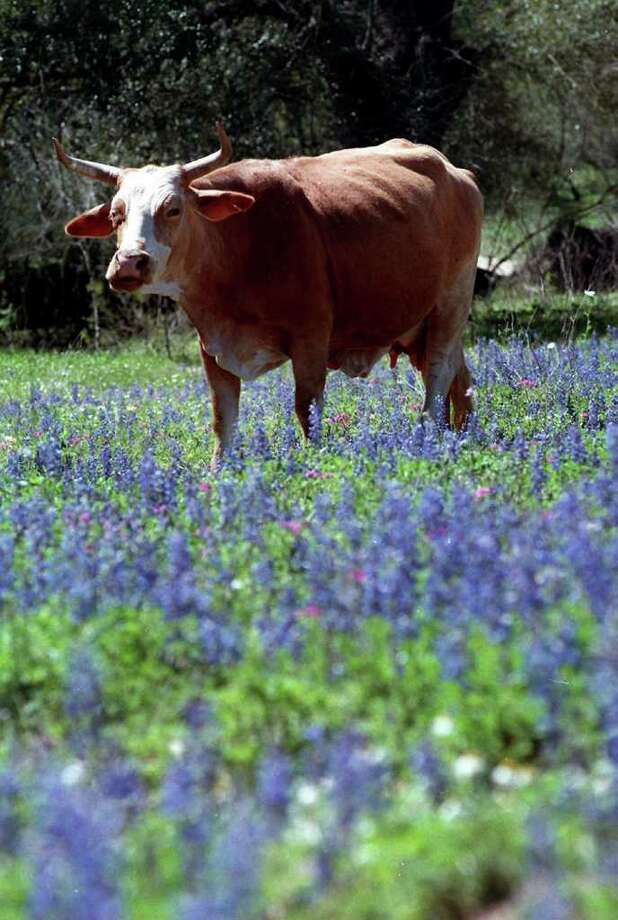A cow walks through the bluebonnets March 17, 1998, on Jim Collums' ranch, near Poteet. Photo: MORRIS GOEN, Express-News File Photo