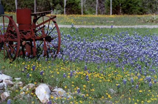 Texas bluebonnets bloom on FM 3009 just east of Garden Ridge on March 31, 1998. Photo: ELAINE  KASS-THOMAS, Express-News File Photo