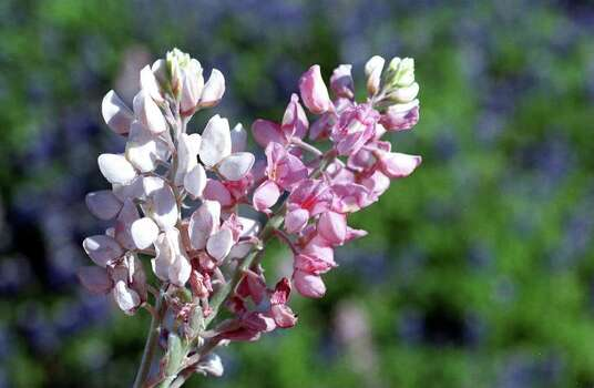 Pink and white bluebonnets on April 1, 1998. Photo: ROBERT McLEROY, Express-News File Photo
