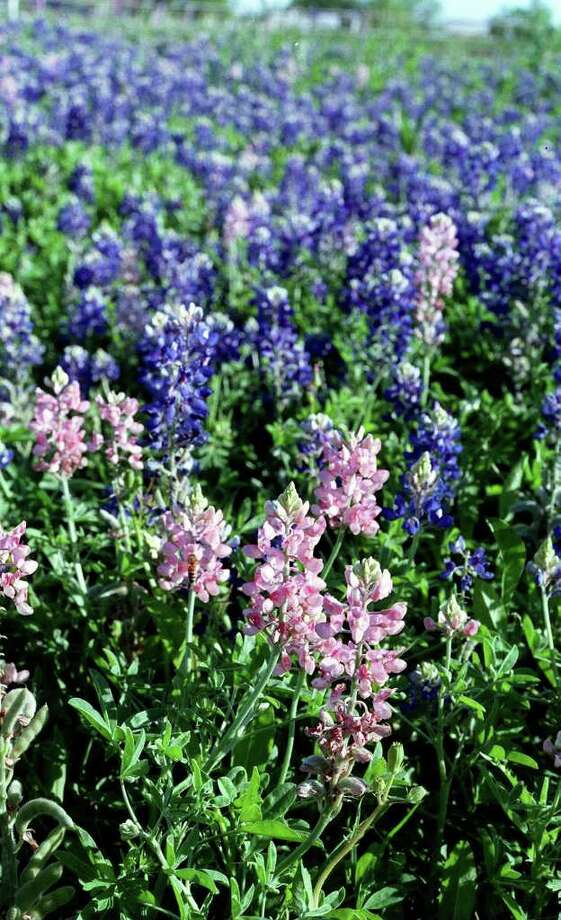 Pink and blue bluebonnets on April 1, 1998. Photo: ROBERT McLEROY, Express-News File Photo