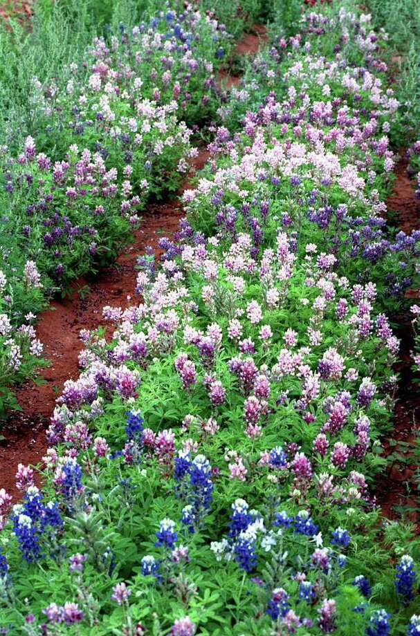 Pink and blue bluebonnets on April 7, 1998. Photo: ROBERT McLEROY, Express-News File Photo