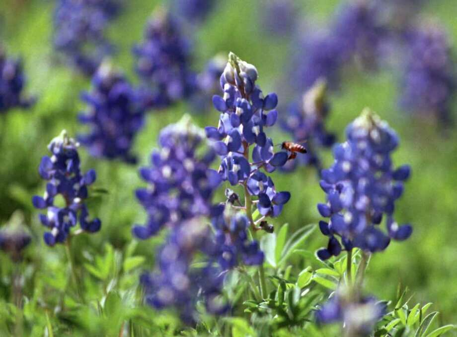 Bluebonnets are in full bloom along U.S. 281 North at Loop 1604 on March 15, 1999. Photo: Kevin Geil, Express-News File Photo / SAN ANTONIO EXPRESS-NEWS