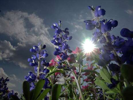 Bluebonnets, and other wildflowers, fill a field on Texas 16 south of the city on March 19, 2001. Photo: Express-News File Photo