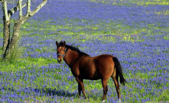 A horse meanders through a field of bluebonnetts on Texas 16 south of the city on March 19, 2001. Photo: Express-News File Photo