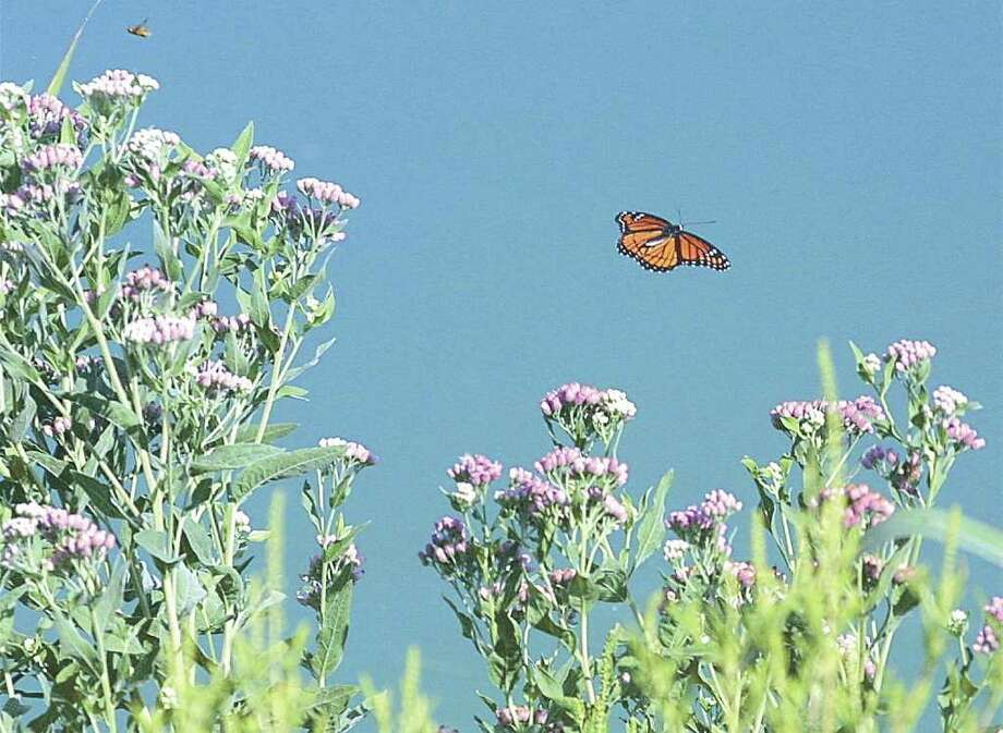 A butterfly flutters by wildflowers at Mitchell Lake on Aug. 19, 2002. Photo: J. MICHAEL SHORT, Express-News File Photo / SAN ANTONIO EXPRESS-NEWS