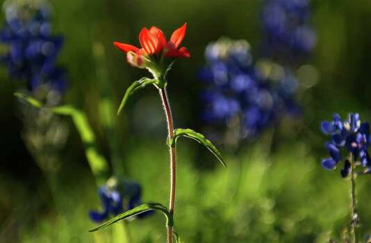 An Indian Paint Brush wildflower stands amidst bluebonnets on the side of U.S. 281 north of Blanco on April 7, 2004. Photo: LISA KRANTZ, Express-News File Photo / SAN ANTONIO EXPRESS-NEWS