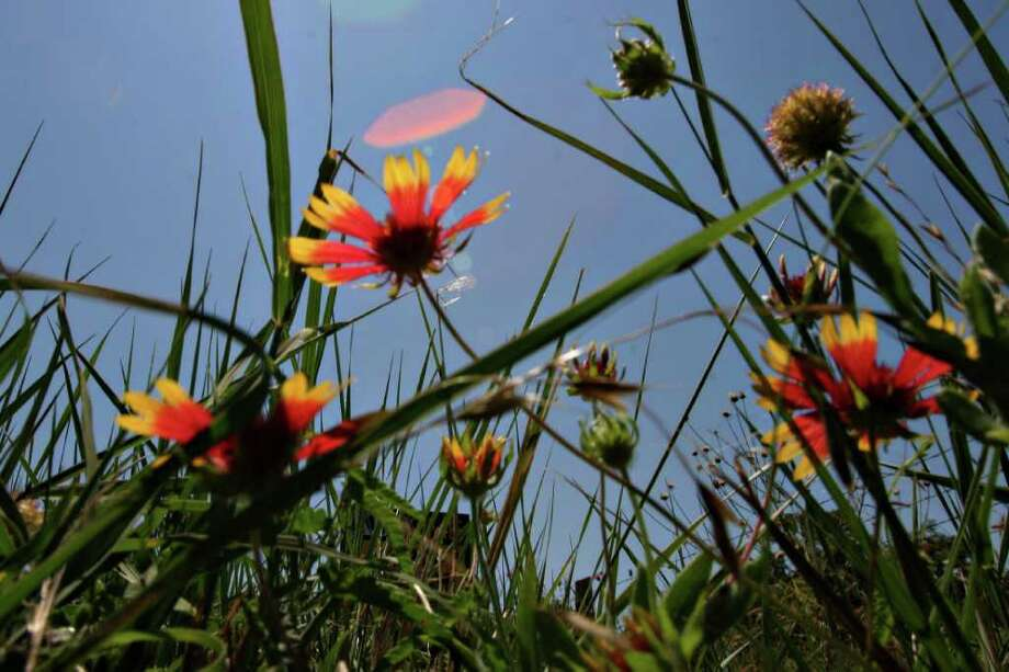 Wildflowers grow near the Cibolo Nature Center in Boerne on June 17, 2005. Photo: NICOLE FRUGE, Express-News File Photo / SAN ANTONIO EXPRESS-NEWS