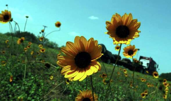 Sunflowers dot the landscape along Interstate 35 south of Devine on July 10, 2006. Photo: ROBERT McLEROY, Express-News File Photo / SAN ANTONIO EXPRESS-NEWS