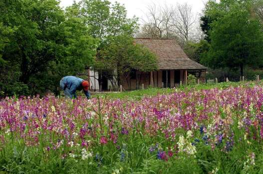 An adundance of blooming wildflowers enhance the look of the new Texas Native Trail at the San Antonio Botanical Gardens on April 5, 2006. In the background the newly restored 1842 Schumacher House. Photo: DELCIA LOPEZ, Express-News File Photo / SAN ANTONIO EXPRESS-NEWS