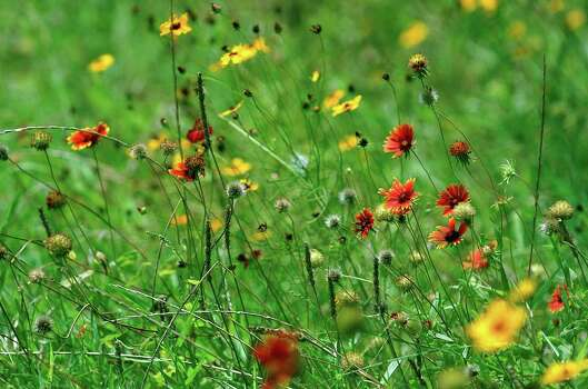 Lady Bird Johnson left a a lanscape dotted with wildflowers. Visitors to the Lyndon B. Johnson State and National Historical Parks in Stonewall get a glimpse of color on July 12, 2007. Photo: GLORIA FERNIZ, Express-News File Photo / SAN ANTONIO EXPRESS-NEWS
