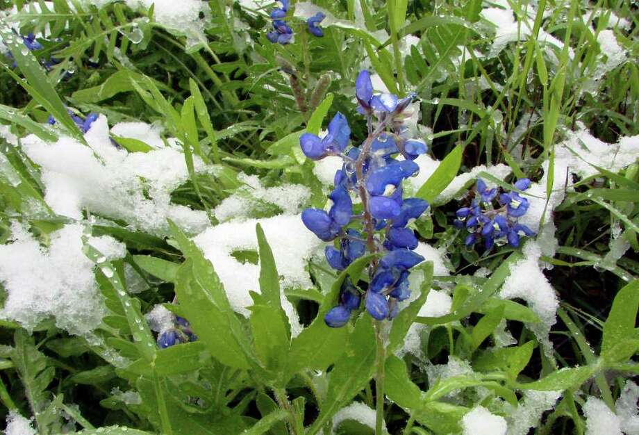Snow covers bluebonnets along Interstate 35 between Hillsboro and Waco on April 7,  2007. Photo: Robert McLeroy, Express-News File Photo / San Antonio Express-News