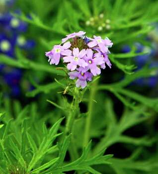 One wildflower growing in Paul Jurena's yard on March 28, 2007, is the delicate prairie verbena. Photo: JOHN DAVENPORT, Express-News File Photo / SAN ANTONIO EXPRESS-NEWS