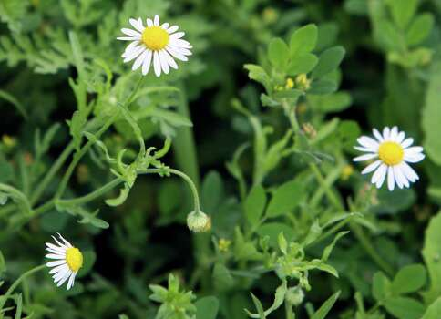 One wildflower growing in Paul Jurena's yard on March 28, 2007, is the white aster or lazy daisy. Photo: JOHN DAVENPORT, Express-News File Photo / SAN ANTONIO EXPRESS-NEWS