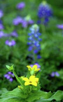 One wildflower growing in Paul Jurena's yard on March 28, 2007, is the yellow Texas star daisy. Photo: JOHN DAVENPORT, Express-News File Photo / SAN ANTONIO EXPRESS-NEWS