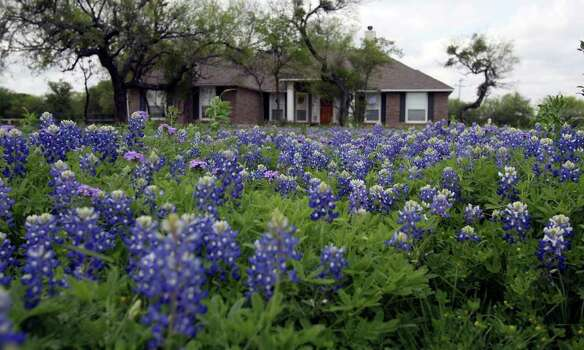 A healthy patch of blubonnets and other wildflowers are thriving in the yard of Paul Jurena, an assistant professor of earth and environmental sciences at the University of Texas at San Antonio, on March 28, 2007. Photo: JOHN DAVENPORT, Express-News File Photo / SAN ANTONIO EXPRESS-NEWS