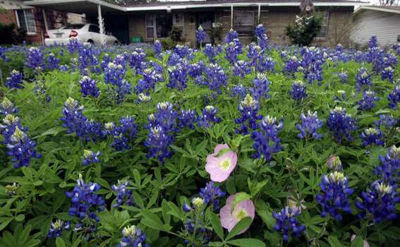 Raymond Lawless has dedicated his front lawn to bluebonnets. March 26, 2007. Photo: Robert McLeroy, Express-News File Photo / San Antonio Express-News
