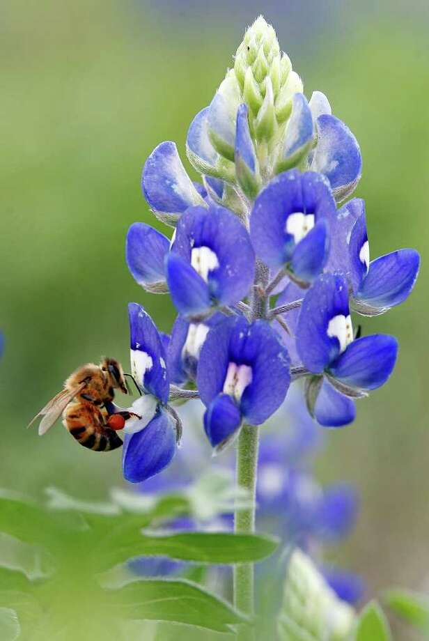 A pollen-laden honey bee sips nectar from a bluebonnet near Bulverde on March 24, 2007. Photo: J. MICHAEL SHORT, Express-News File Photo / THE SAN ANTONIO EXPRESS-NEWS