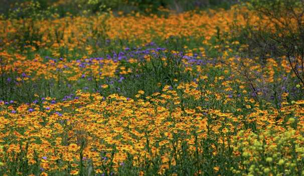 Wildflowers are blooming and ready to bloom along U.S. 90 West, just before Castroville, on March 24, 2007. Photo: Bob Owen, Express-News File Photo / SAN ANTONIO EXPRESS-NEWS