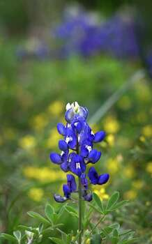 Bluebonnets in bloom along Schneider Lane in Garden Ridge, on March 23, 2007. Photo: Bob Owen, Express-News File Photo / San Antonio Express-News