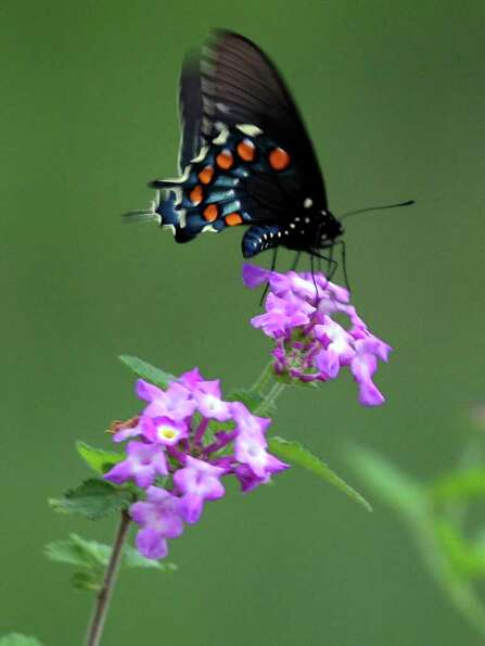 A butterfly sits on a lantana flower on March 21, 2007, in North San Antonio.