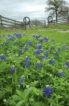 Bluebonnets begin to fill the grass in front of the entrance to a ranch east of San Antonio near Palmetto State Park on March 18, 2003. Photo: TOM REEL, Express-News File Photo / SAN ANTONIO EXPRESS-NEWS
