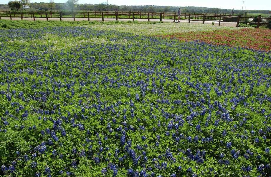 Jerry Parsons, with the Texas Agricultural Extension Service, and John Thomas, owner of Wildseed Farms, have planted a Texas flag using red, white and blue bluebonnets It is seen April 1, 2003. Photo: KAREN L. SHAW, Express-News File Photo / SAN ANTONIO EXPRESS-NEWS