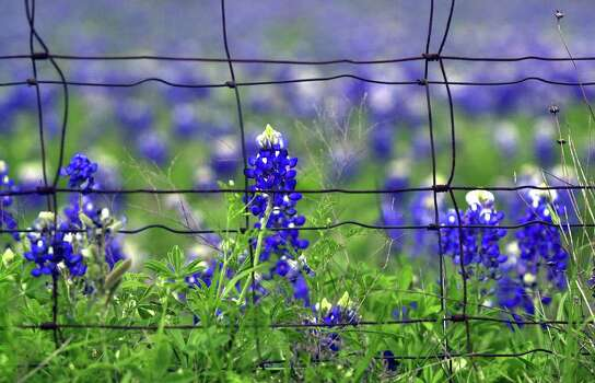 Bluebonnets bloom near a fence line on FM 306 north of New Braunfels on April 2, 2003. Photo: TOM REEL, Express-News File Photo / SAN ANTONIO EXPRESS-NEWS