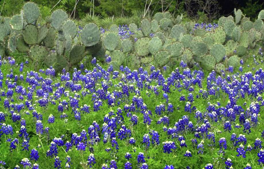 The beauty of bluebonnets and the ruggedness of a cactus stand in stark contrast near a fence line on FM 306 north of New Braunfels on April 2, 2003. Photo: TOM REEL, Express-News File Photo / SAN ANTONIO EXPRESS-NEWS