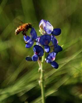 A bumblebee inspects a bluebonnet on the side of U.S. 281 north of Blanco on April 7, 2004. Photo: LISA KRANTZ, Express-News File Photo / SAN ANTONIO EXPRESS-NEWS