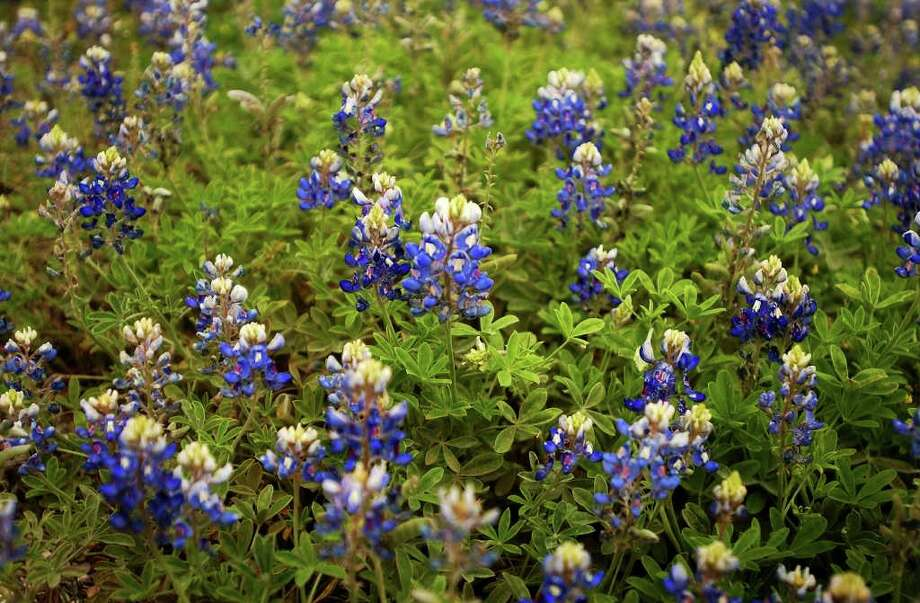 Bluebonnets are in bloom at U.S. 281 and Evans Road on March 29, 2005. Photo: NICOLE FRUGE, Express-News File Photo / SAN ANTONIO EXPRESS-NEWS