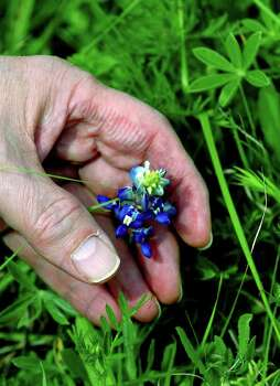 Rich Olivieri examines a bluebonnet blossom in Stonewall on March 29, 2005. Photo: JOHN DAVENPORT, Express-News File Photo / SAN ANTONIO EXPRESS-NEWS
